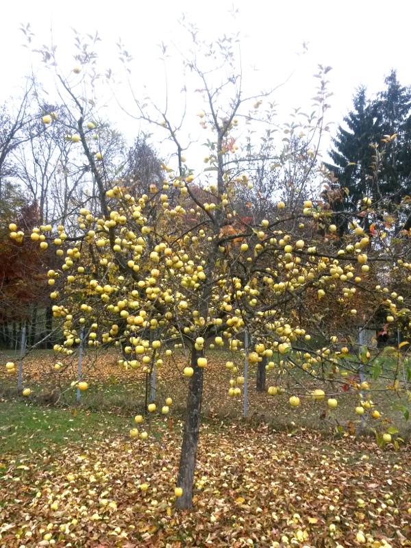 Couleurs d'automne Pommie10
