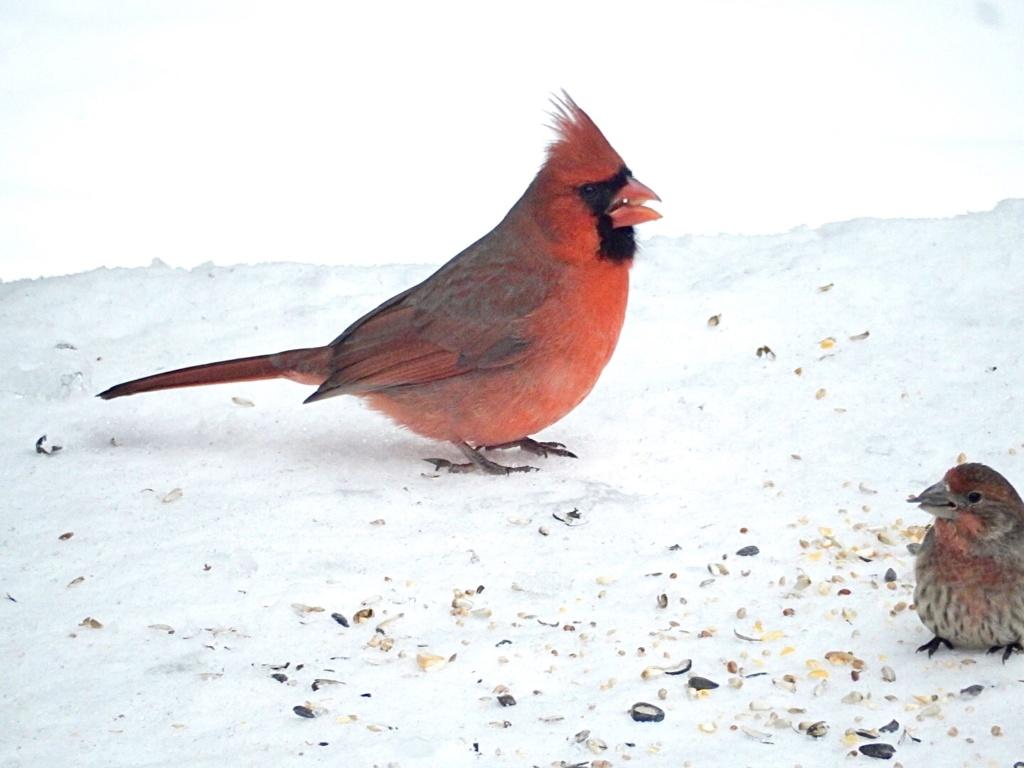 Cardinal 118a9710