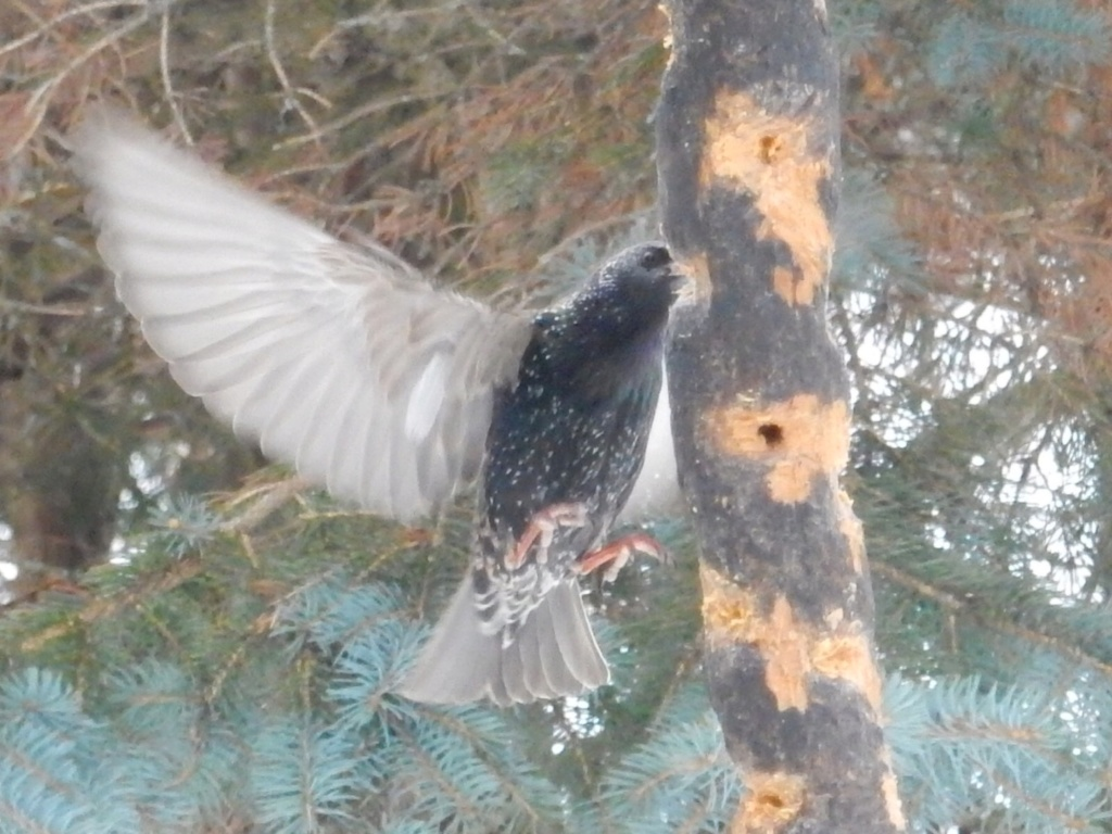 L'étourneau qui se prenait pour un colibri 1a764510