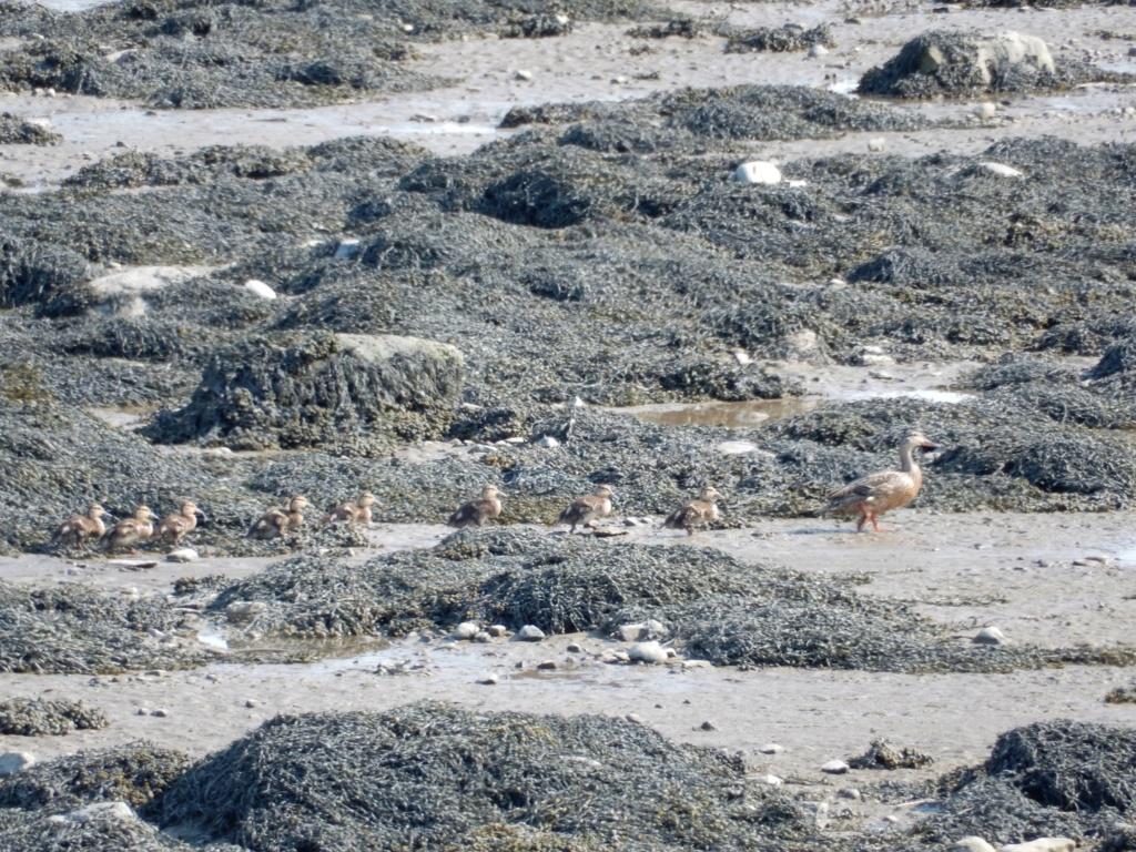 Mallard à marée basse 22a21210