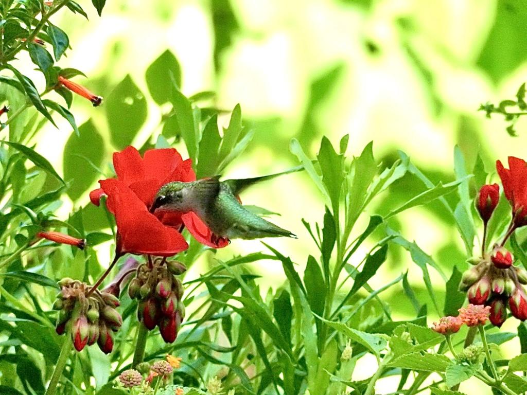 Encore colibri… 2a1cbf10
