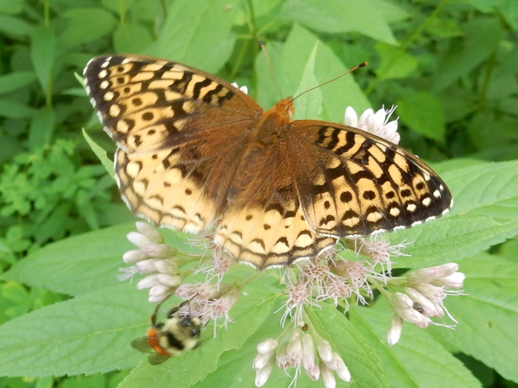 Papillon 30972310