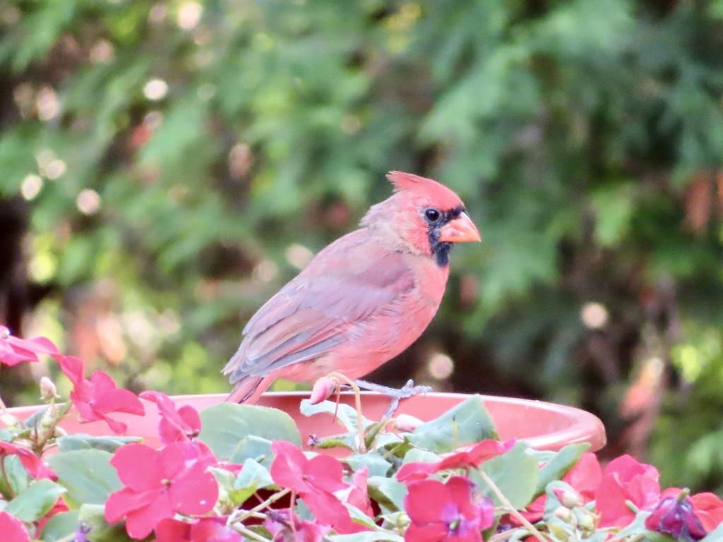 Cardinals 36a43110