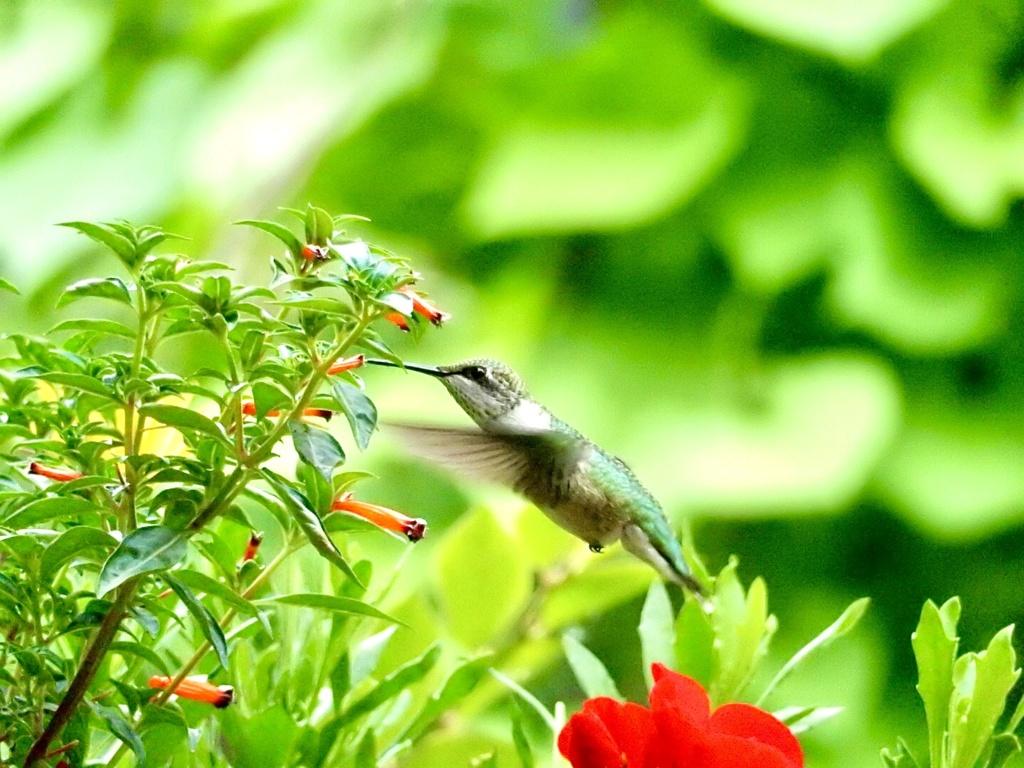 Colibri… 46014410