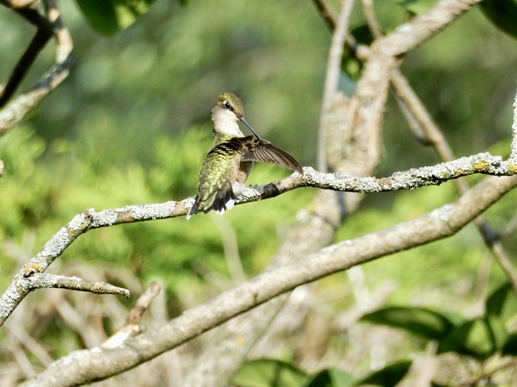 Encore colibri… 56a94710
