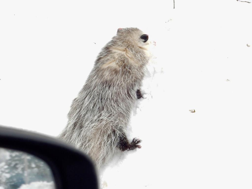 Opossum  5fa37110