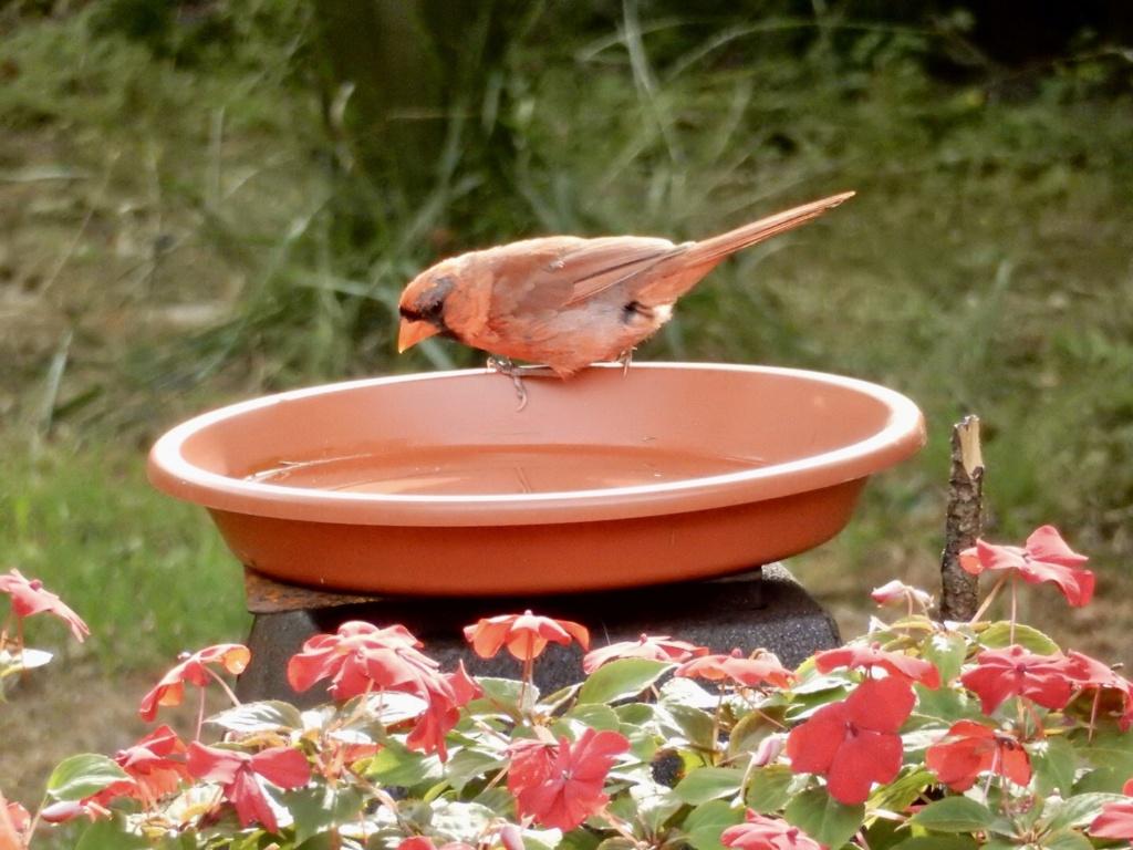 Cardinal en mue ? 643bc610