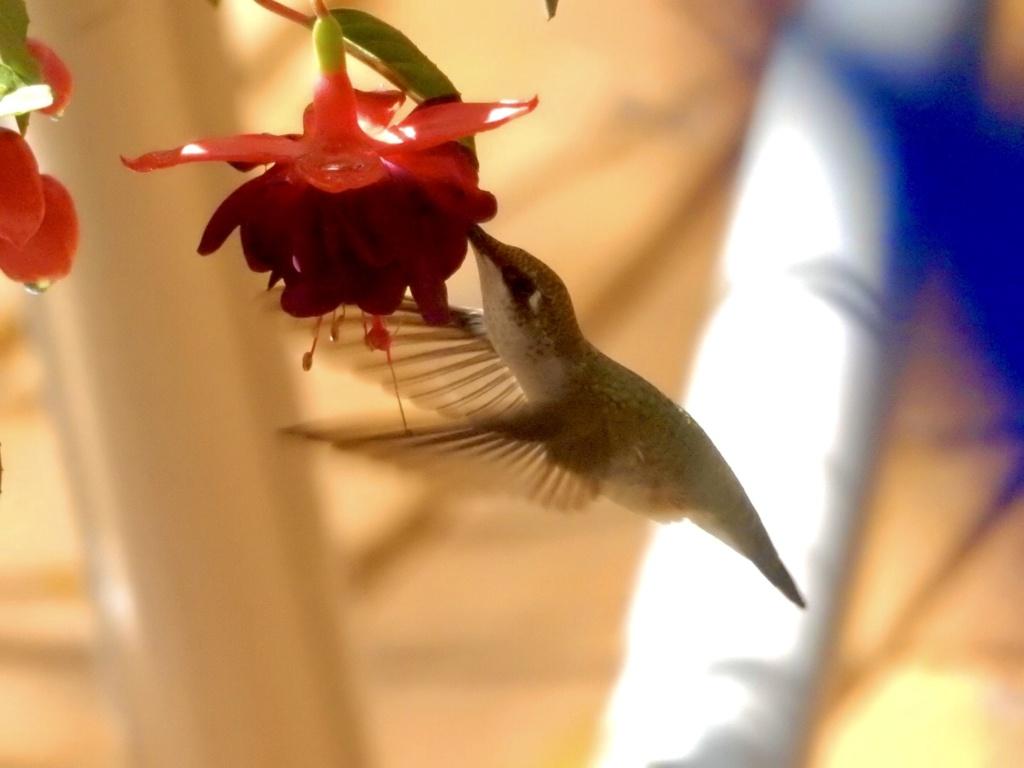 Colibri 68a83c10