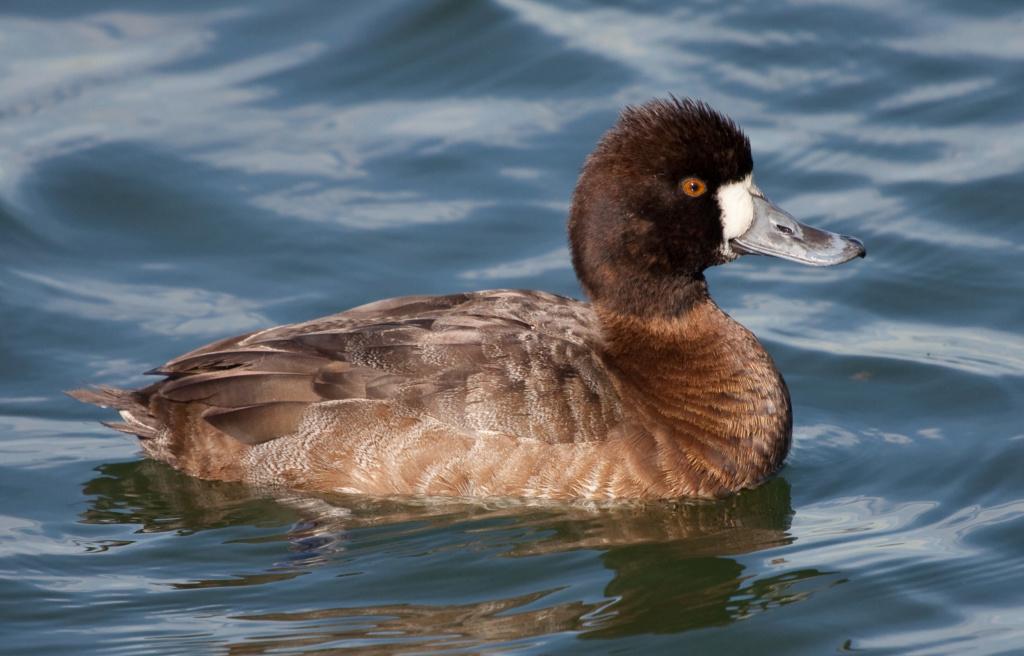 Aide pour identifier le canard brun,merci! 68b2e710