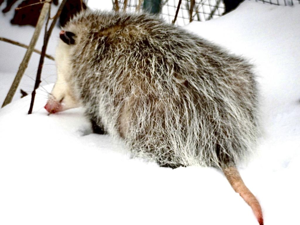 Opossum  78b1eb10