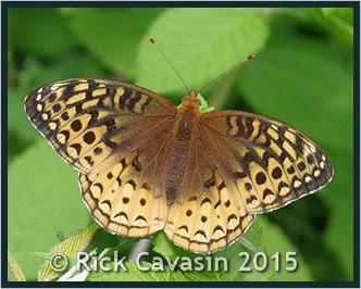 Papillon 9f249b10
