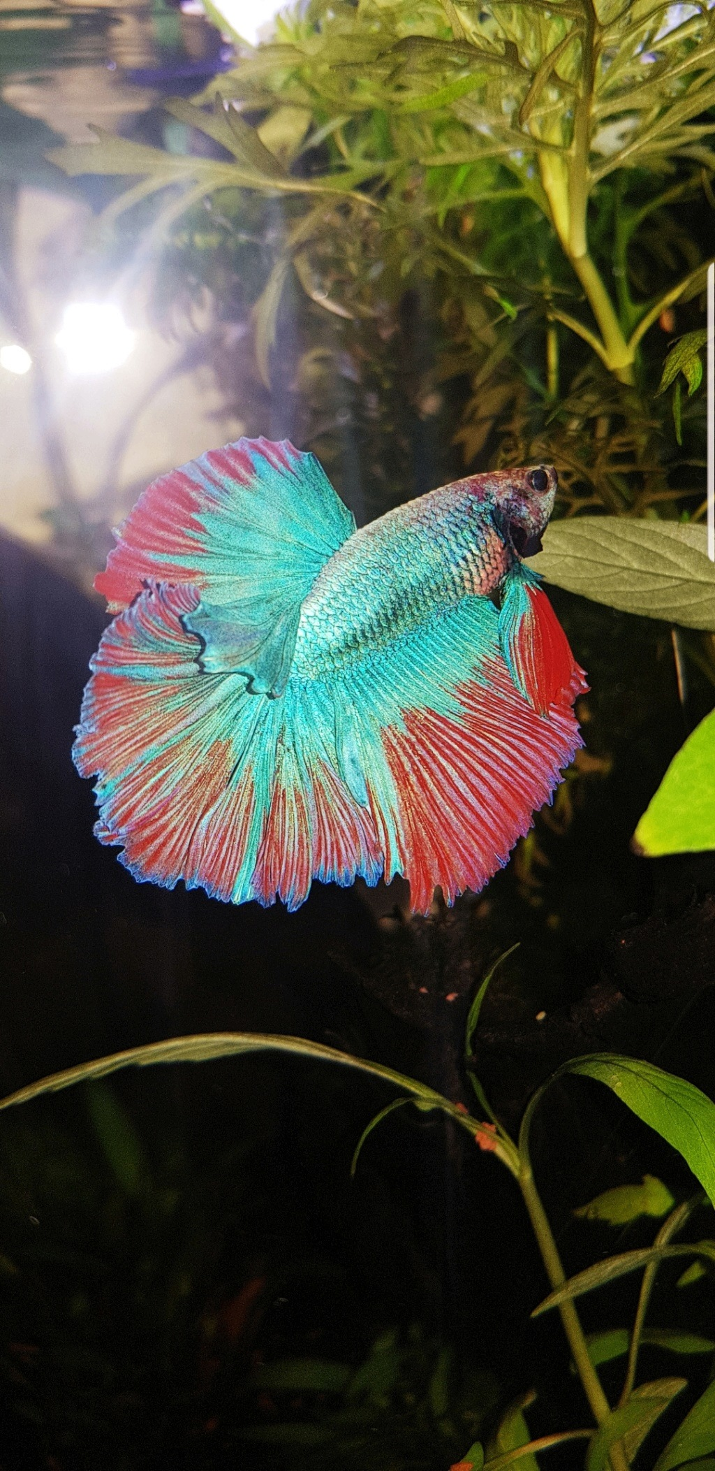 Betta acheté en animalerie  20190411