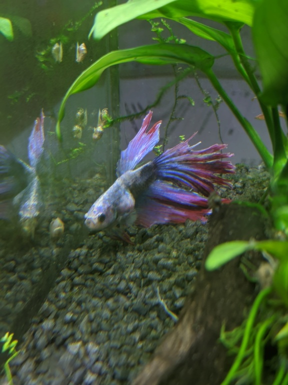 Betta en mauvaise forme Img_2017