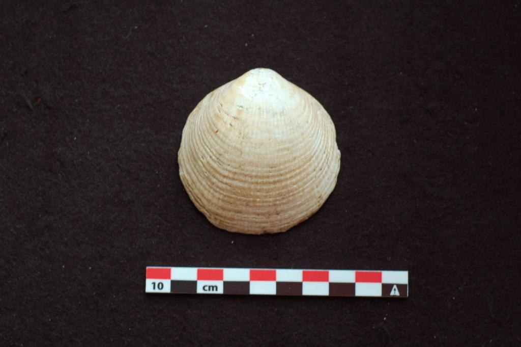 Glycymeris sp. fossile à identifier Dsc_0311