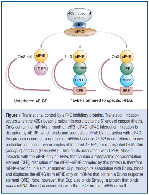 Translation through ribosomes,  amazing nano machines - Page 2 1_tran12