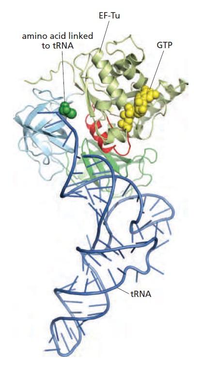 Translation through ribosomes,  amazing nano machines - Page 2 An_ami10