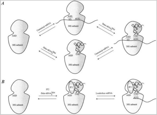 Translation through ribosomes,  amazing nano machines - Page 2 Bindin10