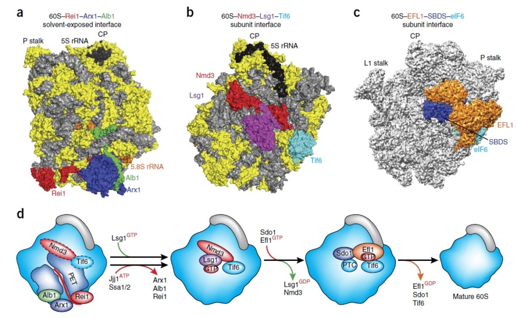 Translation through ribosomes,  amazing nano machines Cytopl10