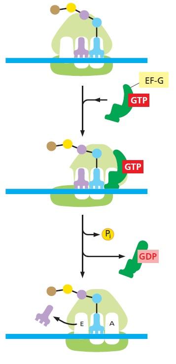 Translation through ribosomes,  amazing nano machines - Page 2 Detail10