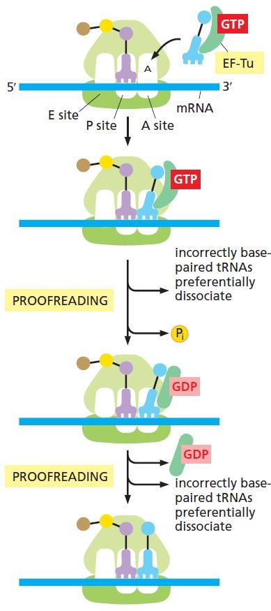 Translation through ribosomes,  amazing nano machines - Page 2 Detail11