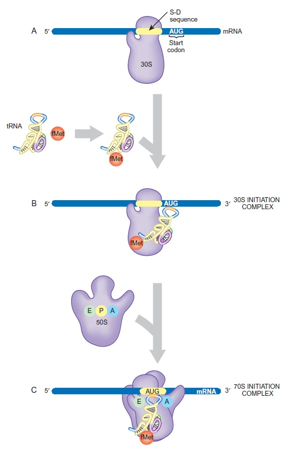 Translation through ribosomes,  amazing nano machines - Page 2 Format10