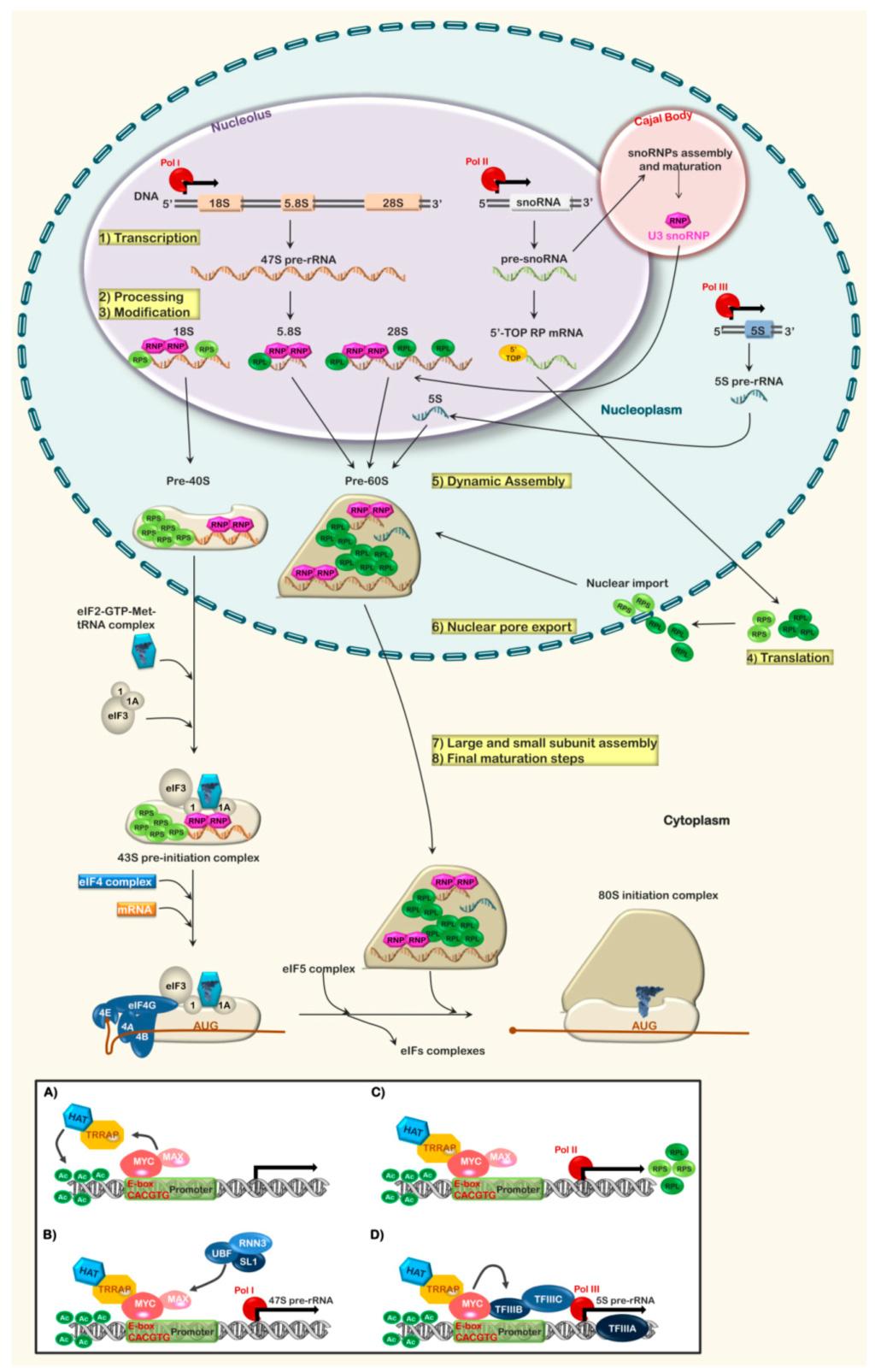 Translation through ribosomes,  amazing nano machines - Page 2 Ijms-210
