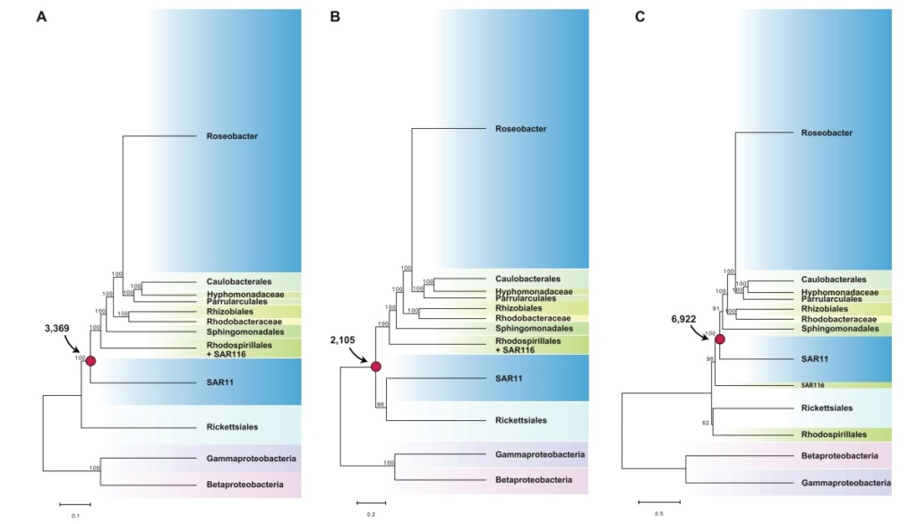 Pelagibacter Ubique is the best candidate to investigate Origin of life scenarios. Here is why Model-11