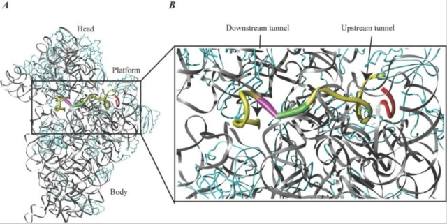 Translation through ribosomes,  amazing nano machines - Page 2 Mrna_b10