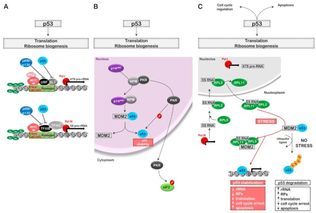 Translation through ribosomes,  amazing nano machines - Page 2 Regula10