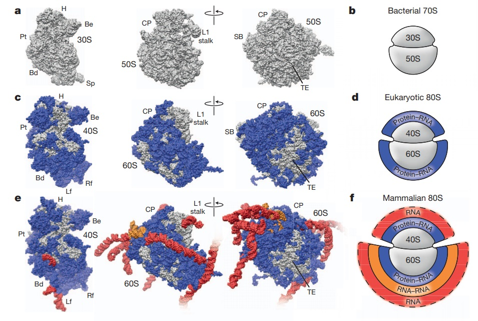 Translation through ribosomes,  amazing nano machines Riboso17