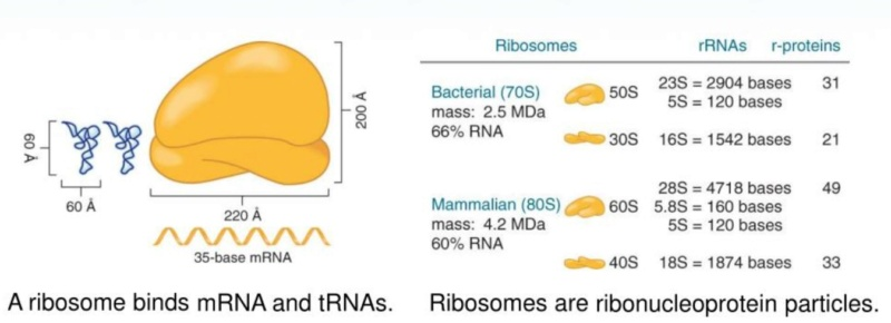 Translation through ribosomes,  amazing nano machines Riboso25