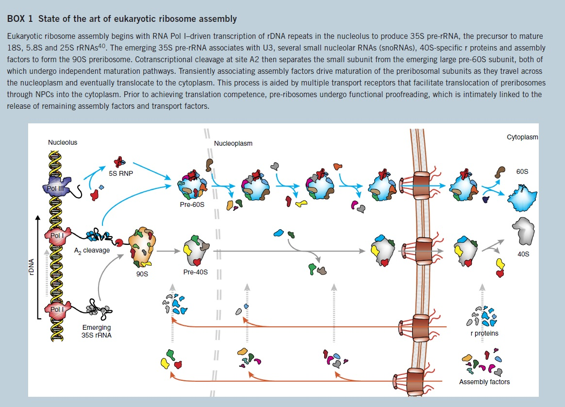 Translation through ribosomes,  amazing nano machines State_10