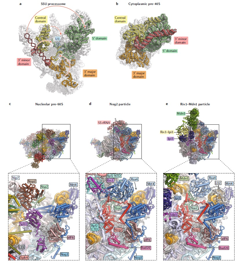 Translation through ribosomes,  amazing nano machines Struct12
