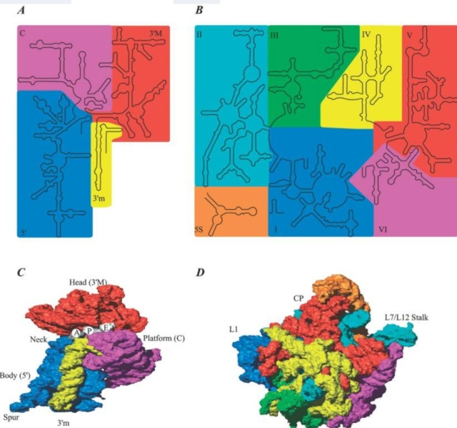 Translation through ribosomes,  amazing nano machines - Page 2 Struct13