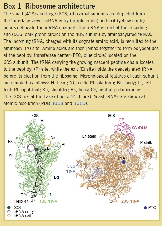 Translation through ribosomes,  amazing nano machines The_sm10