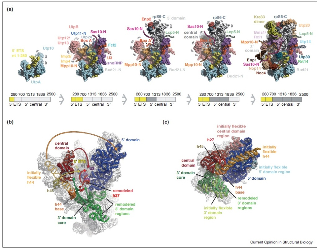 Translation through ribosomes,  amazing nano machines Three-10