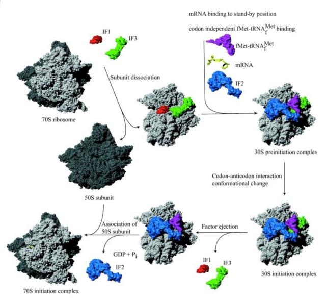 Translation through ribosomes,  amazing nano machines - Page 2 Transl11