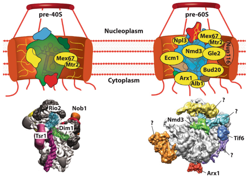 Translation through ribosomes,  amazing nano machines Transp11