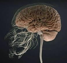 كمية الأعصاب التي تربط بين الأسنان والدماغ Images10
