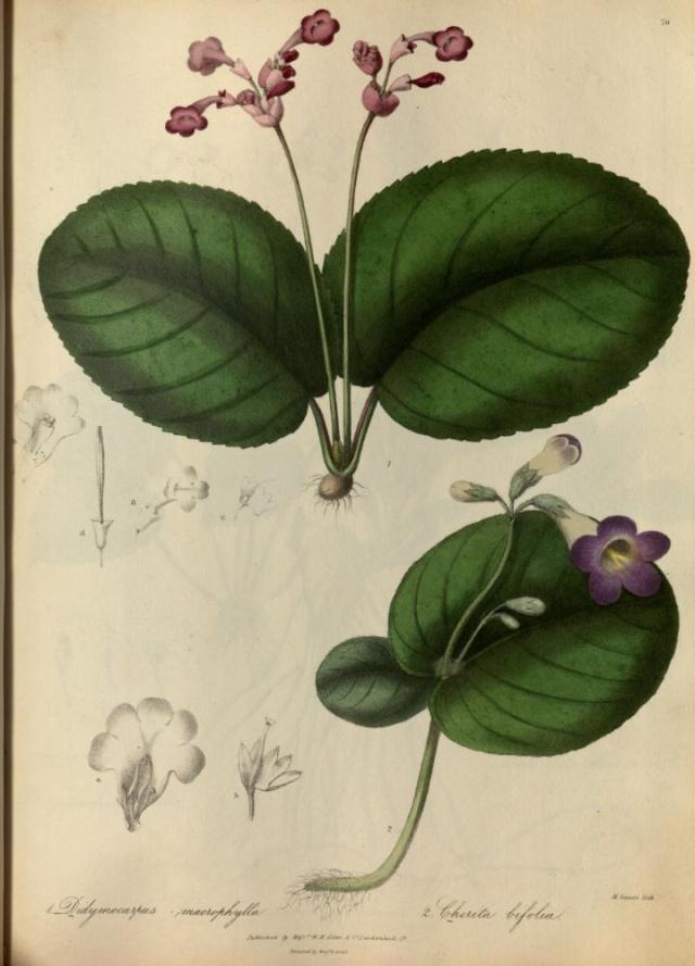 Chirita bifolia Chirit10