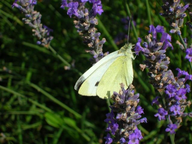 Papillons au jardin Dscn9810