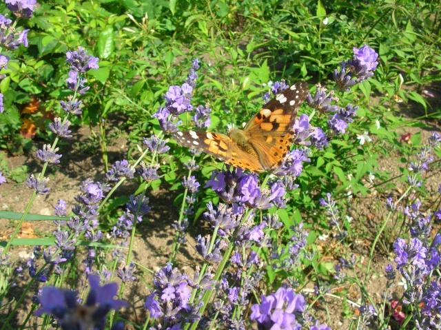 Papillons au jardin Dscn9811