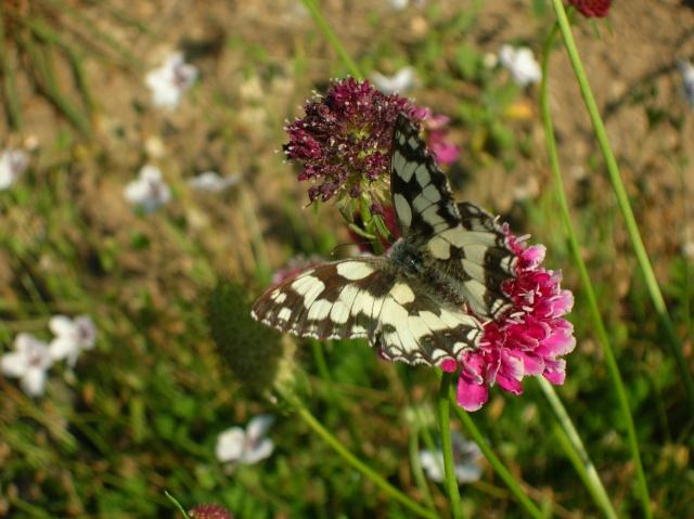 Papillons au jardin Dscn9910