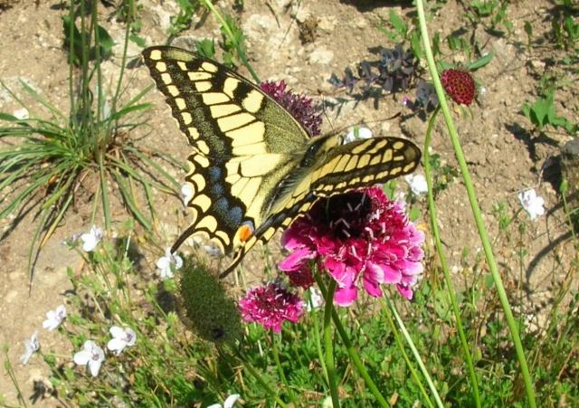 Papillons au jardin Dscn9911