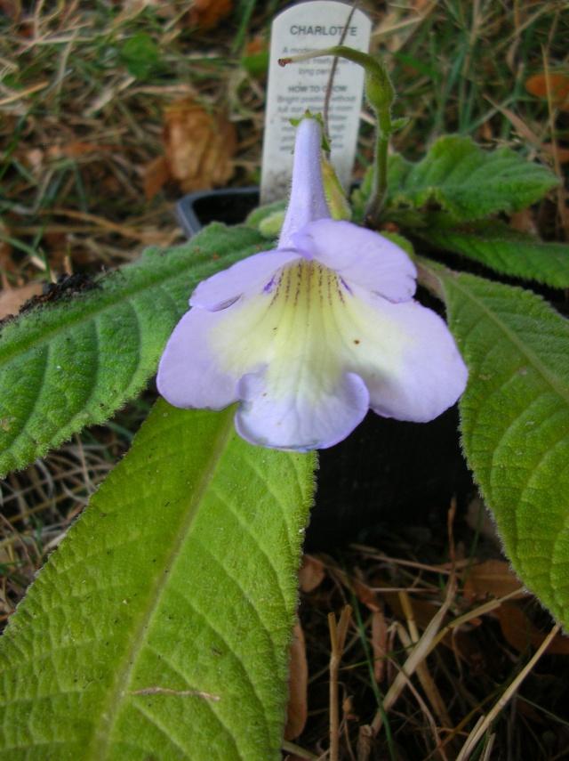 Quelques streptocarpus en fleur - Page 2 Dscn9918