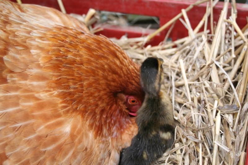 petit canard 08710