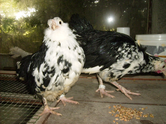 L'élevage de Mayeli Poussi10