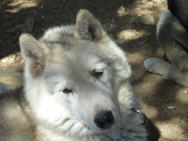 KAYUK husky (m) le vrai bisounours  REF 07  ADOPTE Kaka10