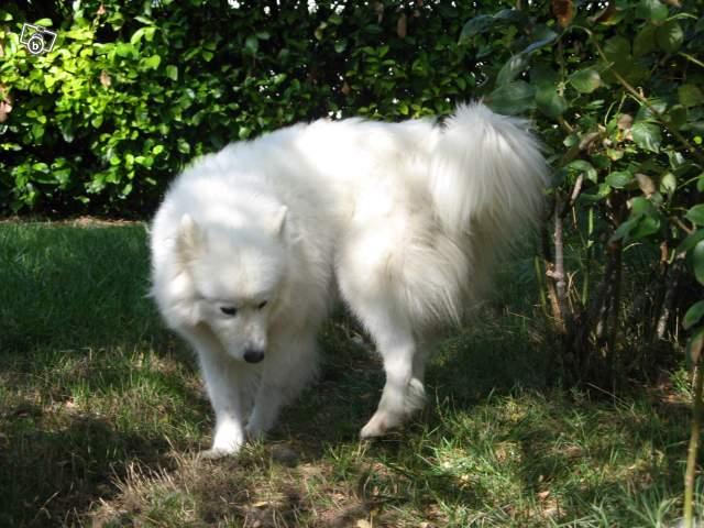 Inouk, samoyède femelle de 9 ans PAR (81) Inouk_10