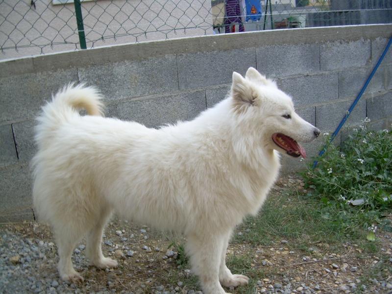 Inouk, samoyède femelle de 9 ans PAR (81) Inouk_12